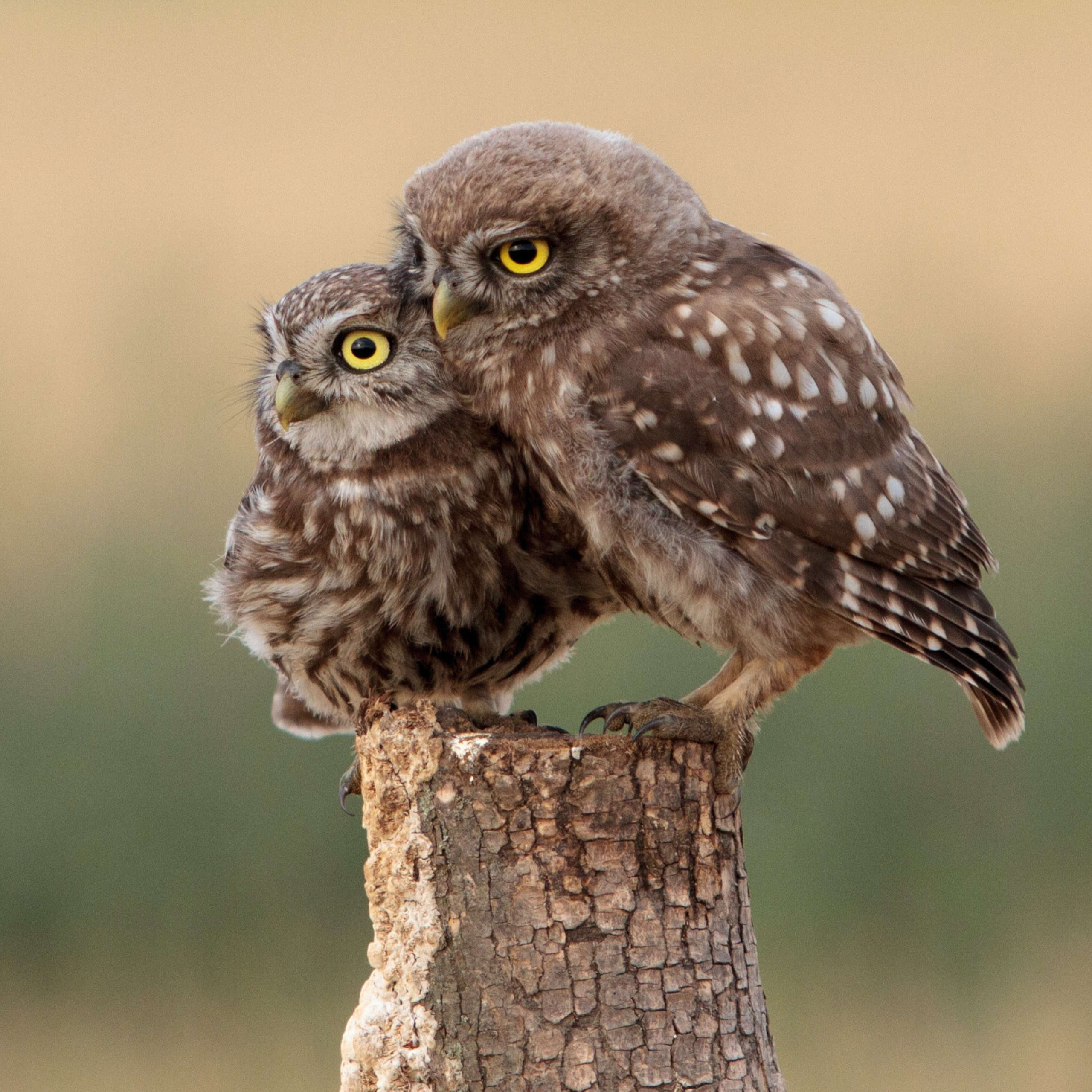 DLegal Law Office - Two owls